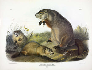 AUDUBON, John James (1785-1851) Vol. I, Plate 2, Ground Hog