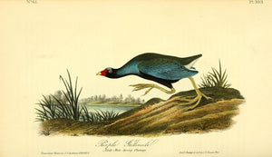 Plate 303, Purple Gallinule
