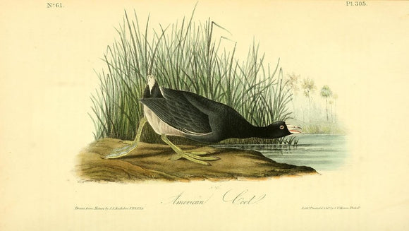 Plate 305, American Coot