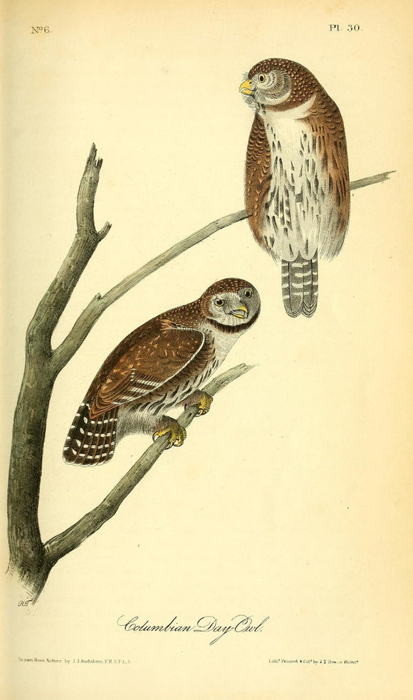 AUDUBON, John James (1785 - 1851). Plate 30, Columbian Day-Owl