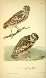 AUDUBON, John James (1785 - 1851). Plate 31, Burrowing Day-Owl