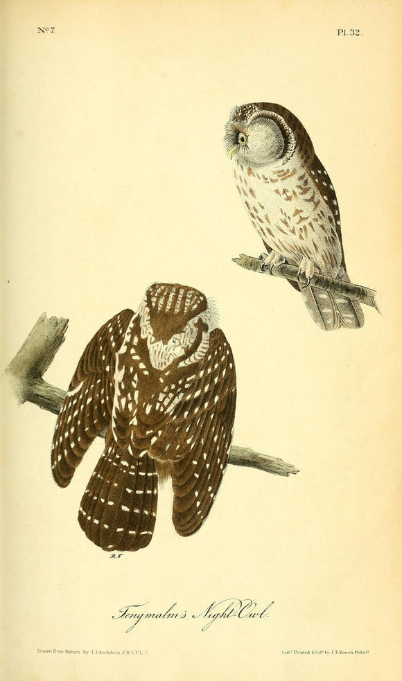 AUDUBON, John James (1785 - 1851). Plate 32, Tengmalm's Night-Owl