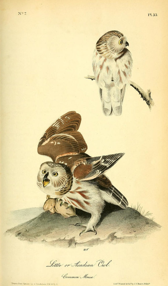 AUDUBON, John James (1785 - 1851). Plate 33, Little or Acadian Owl