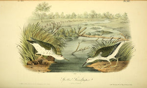 Plate 342, Spotted Sandpiper