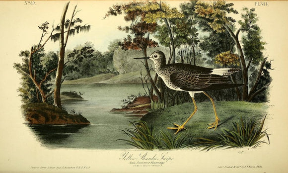 AUDUBON, John James (1785 - 1851). Plate 344, Yellow Shanks Snipe