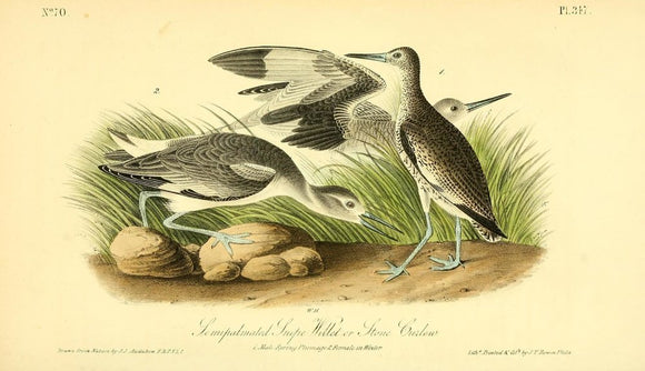 Plate 347, Semipalmated Snipe Willet or Stone Curlew