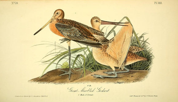 348 AUDUBON, John James (1785 - 1851). Plate 348, Great Marbled Godwit