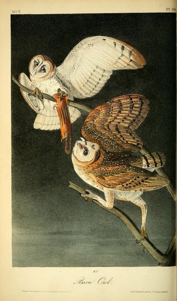 AUDUBON, John James (1785 - 1851). Plate 34, Barn Owl