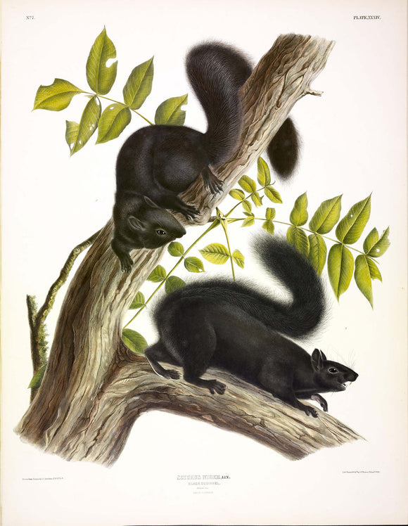 AUDUBON, John James (1785-1851) Vol. I, Plate 34, Black Squirrel