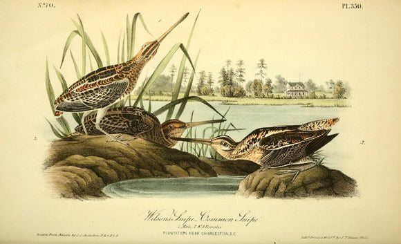 Plate 350, Wilson's Snipe- Common Snipe