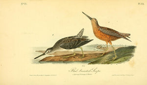 Plate 351, Red-Breasted Snipe