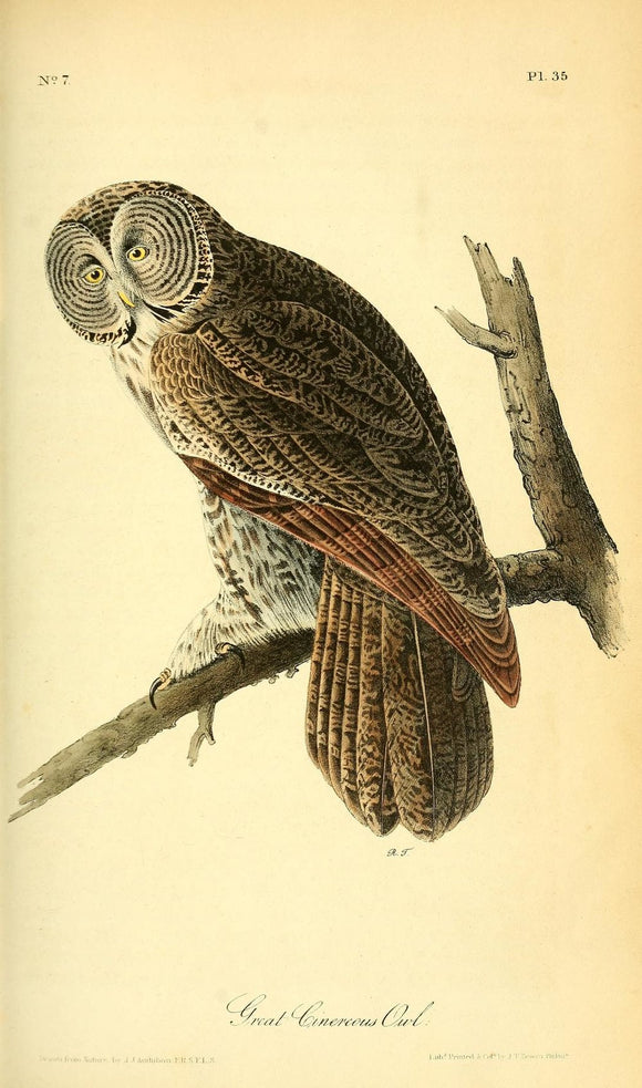 AUDUBON, John James (1785 - 1851). Plate 35, Great Cinerous Owl