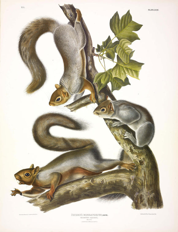 AUDUBON, John James (1785-1851) Vol. I, Plate 35, Migratory Squirrel