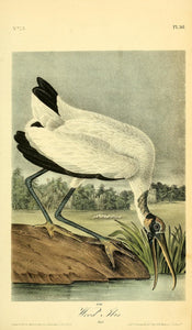361AUDUBON, John James (1785 - 1851). Plate 361, Wood Ibis