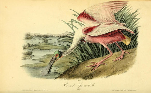Plate 362, Roseate Spoonbill