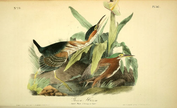 367 AUDUBON, John James (1785 - 1851). Plate 367, Green Heron
