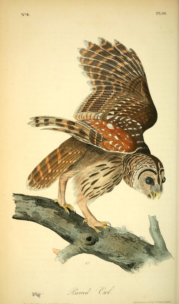 AUDUBON, John James (1785 - 1851). Plate 36, Barred Owl