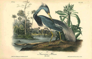Plate 373, Louisiana Heron