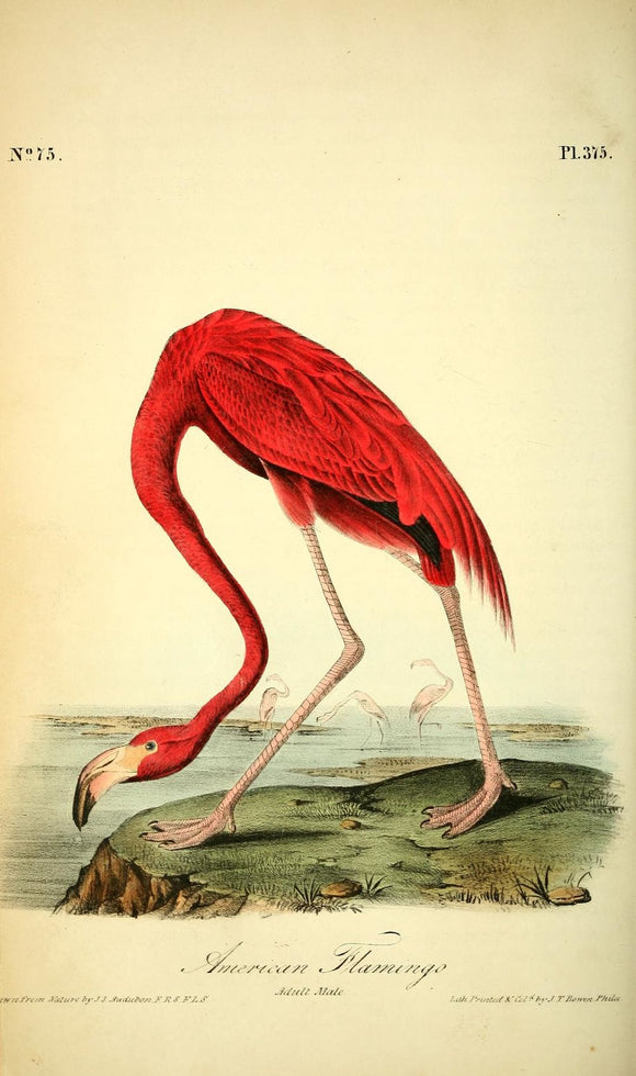 375 AUDUBON, John James (1785 - 1851). Plate 375, American Flamingo