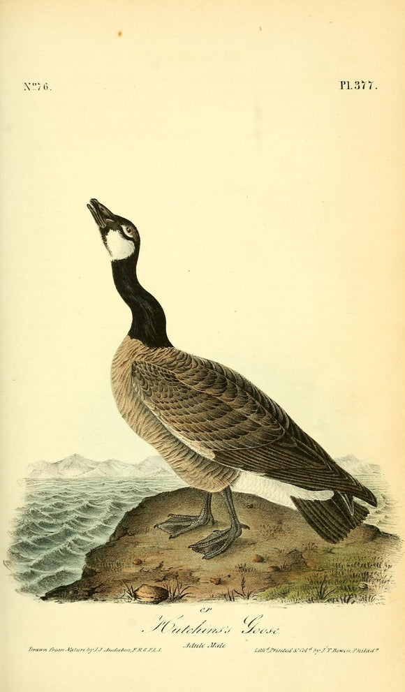 Plate 377, Hutchins's Goose