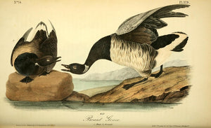 Plate 379, Brant Goose