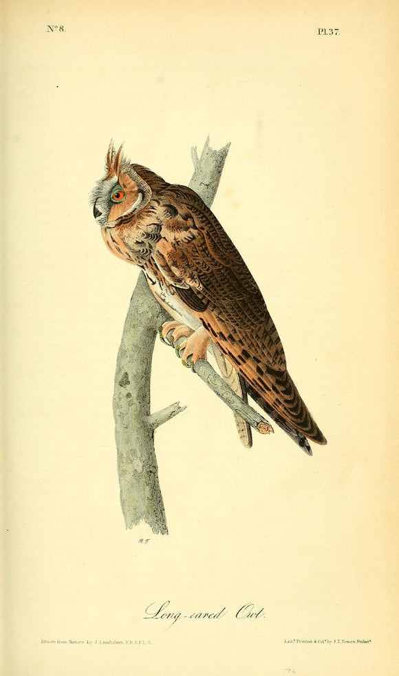 AUDUBON, John James (1785 - 1851). Plate 37, Long-eared Owl