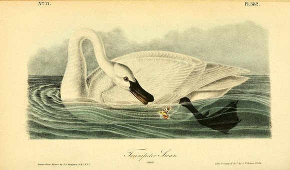 Plate 382, Snow Goose Trumpeter Swan, Adult