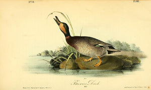Plate 387, Brewer's Duck