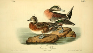 Plate 389, American Widgeon