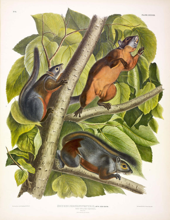 AUDUBON, John James (1785-1851) Vol. I, Plate 38, Red-bellied Squirrel