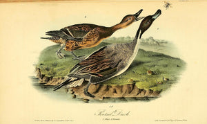 390AUDUBON, John James (1785 - 1851). Plate 390, Pintail Duck