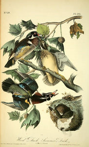 391AUDUBON, John James (1785 - 1851). Plate 391, Wood Duck- Summer Duck