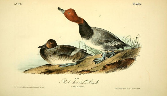 Plate 396, Red-headed Duck