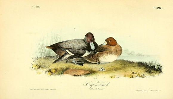 397 AUDUBON, John James (1785 - 1851). Plate 397, Scaup Duck
