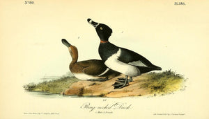 Plate 398, Ringed-neck Duck