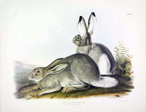 AUDUBON, John James (1785-1851) Vol. I, Plate 3, Townsend's Rocky Mountain Hare