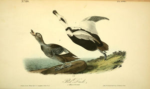 400 AUDUBON, John James (1785 - 1851). Plate 400, Pied Duck