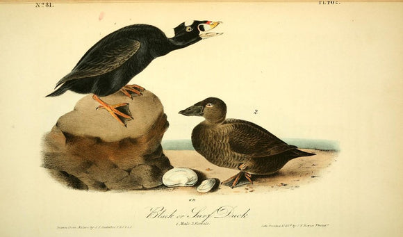 Plate 402, Black or Surf Duck