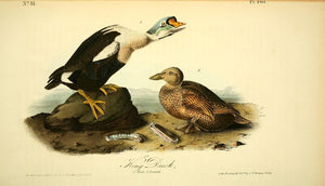 Plate 404, King Duck