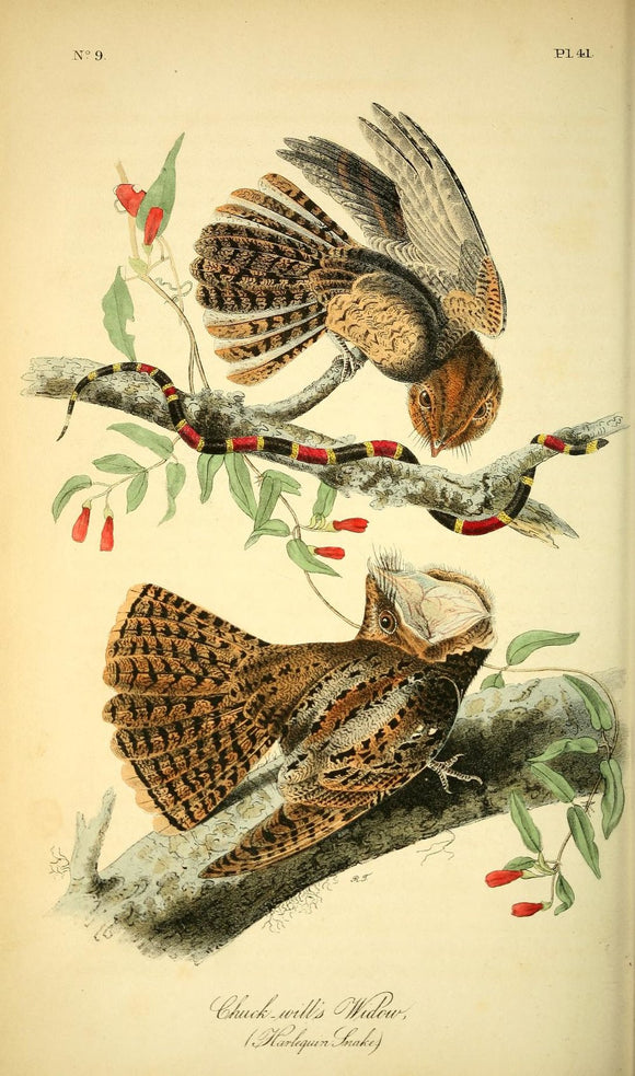 AUDUBON, John James (1785 - 1851). Plate 41, Chuck-will's Widow