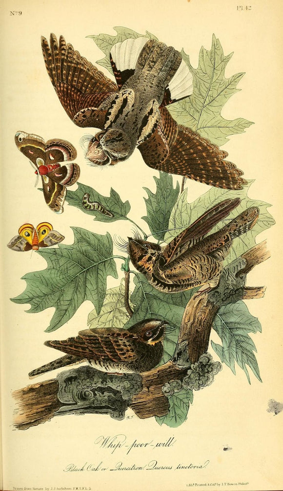 AUDUBON, John James (1785 - 1851). Plate 42, Whip-poor-will