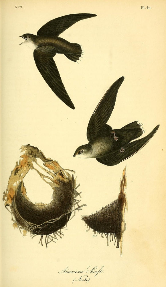 AUDUBON, John James (1785 - 1851). Plate 44, American Swift