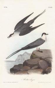 Plate 453, Arctic Jager