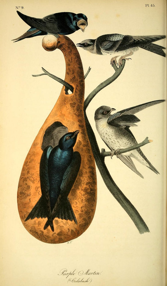 AUDUBON, John James (1785 - 1851). Plate 45, Purple Martin