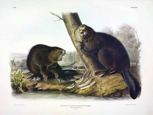 AUDUBON, John James (1785-1851) Vol. I, Plate 46, Beaver