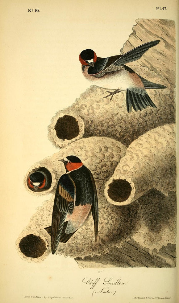 AUDUBON, John James (1785 - 1851). Plate 47, Cliff Swallow