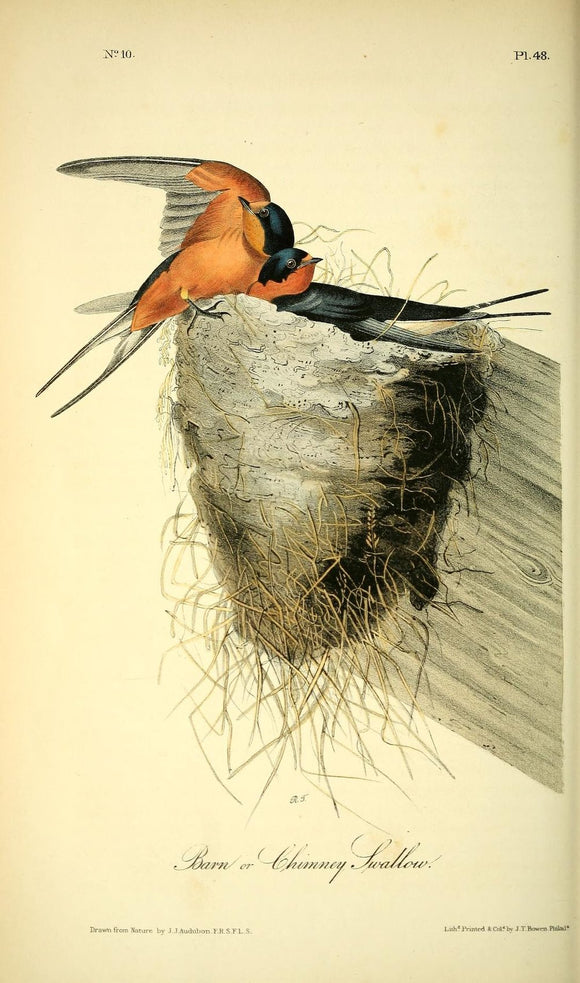 AUDUBON, John James (1785 - 1851). Plate 48, Barn or Chimney Swallow