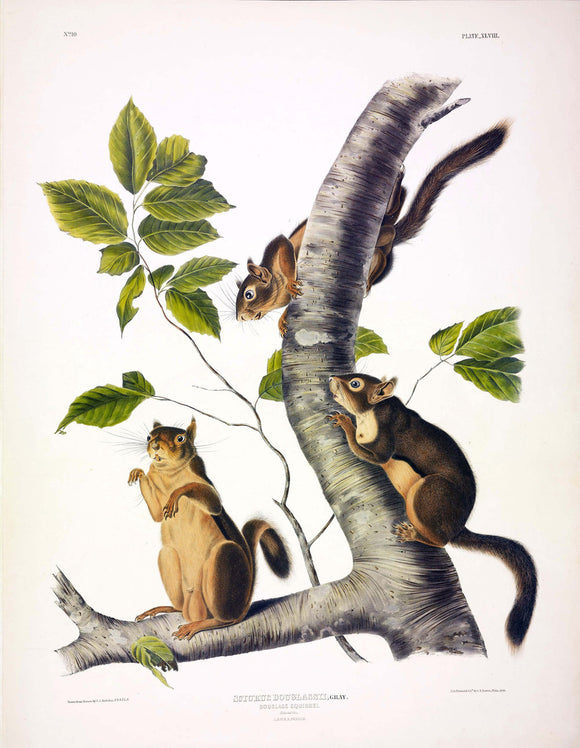 AUDUBON, John James (1785-1851) Vol. I, Plate 48, Douglass's Squirrel