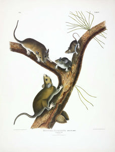 AUDUBON, John James (1785-1851) Vol. I, Plate 4, Florida Rat