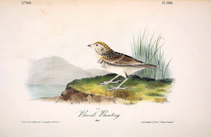 Plate 500, Baird's Bunting